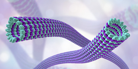 Microtubule, 3D illustration. A polymer composed of a protein tubulin, it is a component of cytoskeleton involved in intracellular transport, cellular mobility and nuclear division