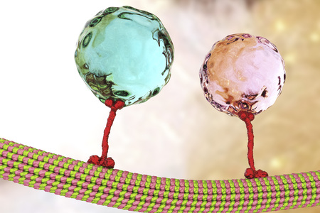 Intracellular transport, kinesin motor proteins, orange, transport molecules moving across microtubules, 3D illustration
