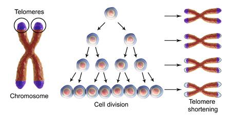 Acortamiento de telómeros con cada ronda de división celular, ilustración conceptual 3D. Los telómeros se acortan con la edad y durante diferentes procesos patológicos.