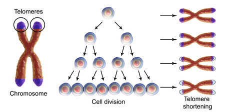 Telomere shortening with each round of cell division, conceptual 3D illustration. Telomeres shorten with age and during different pathological processes