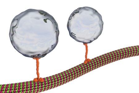 Intracellular transport, kinesin motor proteins transport molecules moving across microtubules isolated on white background, 3D illustration Stock Photo