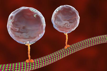 Intracellular transport, kinesin motor proteins transport molecules moving across microtubules, 3D illustration Stock Photo