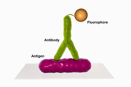 직접적인 immunofluorescent 반응 RIF, 3D 일러스트 레이 션. RIF는 다른 감염성 질환의 진단에 사용되는 면역 학적 반응이다.