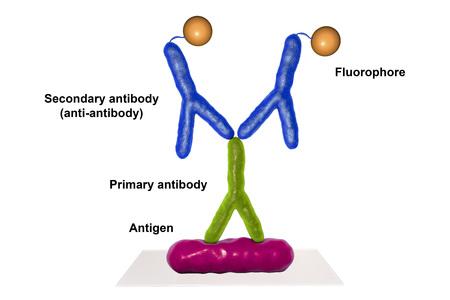 간접적 인 immunofluorescent 반응 RIF, 3D 그림입니다. RIF는 다른 감염성 질환의 진단에 사용되는 면역 학적 반응이다. 스톡 콘텐츠