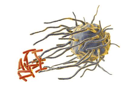Macrofaag die tuberculosebacteriën Mycobacterium-tuberculosis overspoelen die op witte achtergrond, 3D illustratie wordt geïsoleerd Stockfoto