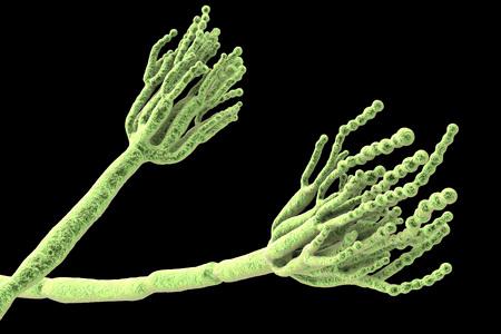 식품 부패를 유발하고 첫 번째 항생제 페니실린의 생산에 사용되는 곰팡이 페니 실 리움 (Fungi Penicillium). 포자를 보여주는 3D 그림 conidia 및 conidiophore