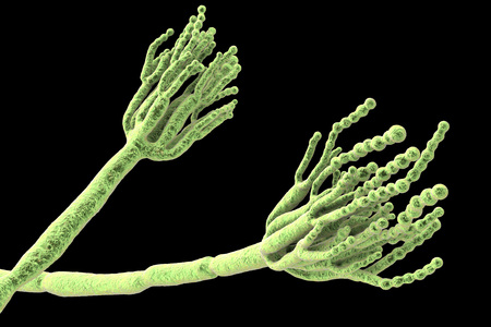Fungi Penicillium which cause food spoilage and are used for production of the first antibiotic penicillin. 3D illustration showing spores conidia and conidiophore Stockfoto