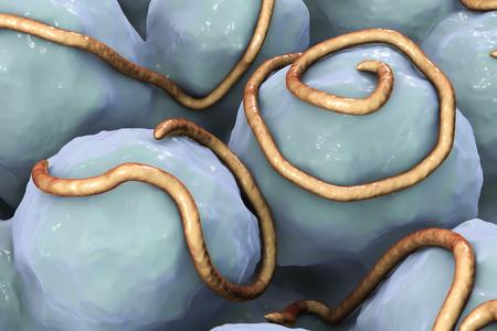 Helminths nematodes Enterobius in the gut. Threadworm which cause enterobiasis, 3D illustration
