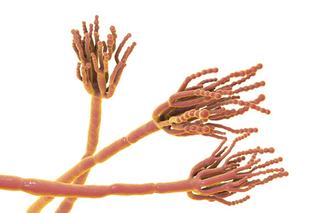 Fungi Penicillium which cause food spoilage and are used for production of the first antibiotic penicillin. 3D illustration showing spores conidia and conidiophore Stock Photo