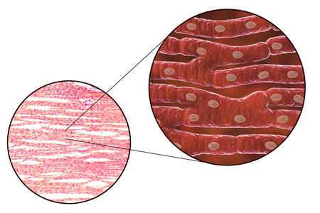 Histological structure of heart muscle, 3D illustration and photomicrograph Stock Photo