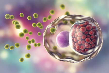 Chlamydia trachomatis bacteria, 3D illustration showing elementary bodies green, extracellular and reticulate bodies red, intracellular