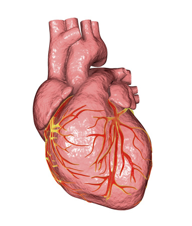 Healthy human heart isolated on white background, 3D illustration Stock Photo