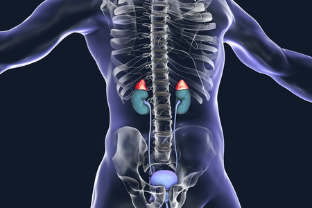 Adrenal glands highlighted inside human body, 3D illustration Stock Photo
