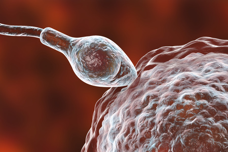 Fertilization of human egg cell by spermatozoan, 3D illustration