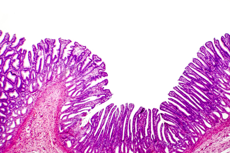 Histology of human stomach, fundic region. Light micrograph, isolated on white background, hematoxylin and eosin staining Stock Photo