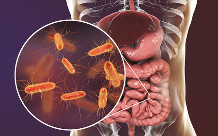 Intestinal microbiome, 3D illustration showing anatomy of human digestive system and enteric bacteria Escherichia coli, E. coli, colonizing jejunum, ileum, other parts of intestine. Gut normal flora Zdjęcie Seryjne