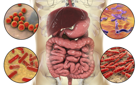 Intestinal microbiome, bacteria colonizing different parts of digestive system, Enterococcus, Helicobacter pylori, Bifidobacterium, Lactobacillus