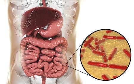 Normal flora of large intestine, bacteria Bidifobacterium, 3D illustration. Intestinal microbiome. Probiotic bacterium
