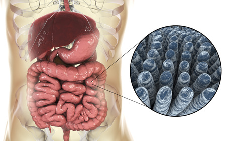 Intestinal anatomy and histology, 3D illustration showing parts of digestive system and close-up view of intestinal villi Stock Photo