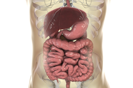 Human digestive system, realistic 3D illustration showing esophagus, stomach, small and large intestine, liver, gallbladder and pancreas Stock Photo