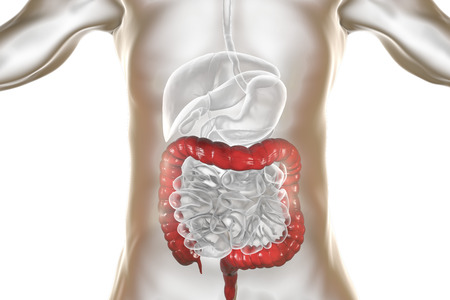 Human digestive system anatomy with highlighted large intestine, 3D illustration