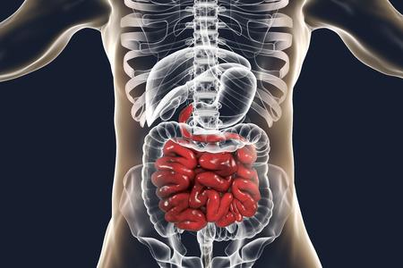 Anatomía del sistema digestivo humano con intestino delgado resaltado, ilustración 3D