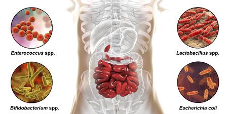 Intestinal microbiome, bacteria colonizing different parts of digestive system, Enterococcus, Lactobacillus, Bifidobacterium, Escherichia coli, 3D illustration