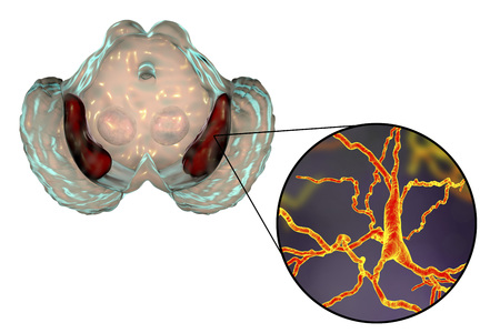 Substantia nigra of the midbrain and its dopaminergic neurons, 3D illustration. Substantia nigra regulates movement and reward, its degeneration is a key step in development of Parkinson's disease Banco de Imagens - 97984158