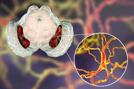 Substantia nigra of the midbrain and its dopaminergic neurons, 3D illustration. Substantia nigra regulates movement and reward, its degeneration is a key step in development of Parkinsons disease Banco de Imagens