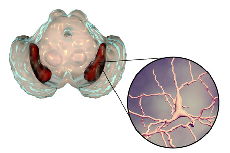 Substantia nigra of the midbrain and its dopaminergic neurons, 3D illustration. Substantia nigra regulates movement and reward, its degeneration is a key step in development of Parkinsons disease Stock Photo