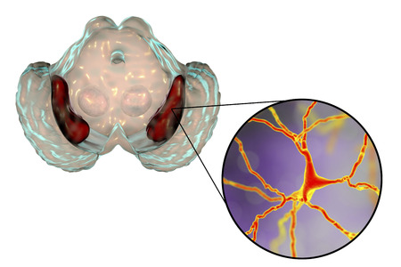 Substantia nigra of the midbrain and its dopaminergic neurons, 3D illustration. Substantia nigra regulates movement and reward, its degeneration is a key step in development of Parkinson's disease Banque d'images