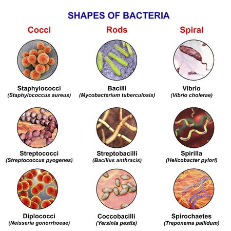 Shapes of bacteria, spherical, rod-like and spiral bacteria with examples, view under microscope with labels, 3D illustration Banco de Imagens