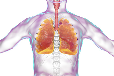 Human respiratory system, lungs, trachea, larynx and male body silhouette with skeleton, realistic 3D illustration Stock Photo