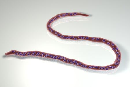 Onchocerca volvulus, a roundworm nematoda that causes onchocerciasis, river blindness in humans, 3D illustration showing slender worm without a sheath around it and tail nuclei not extending to tip