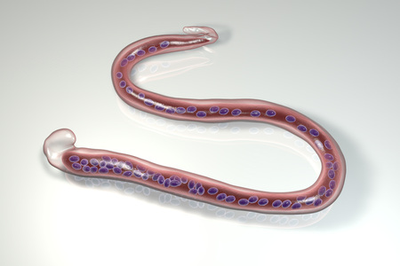 Wuchereria bancrofti, a roundworm nematode, one of the causative agents of lymphatic filariasis, 3D illustration showing presence of sheath around the worm and tail niclei non-extending to tip Stock Photo