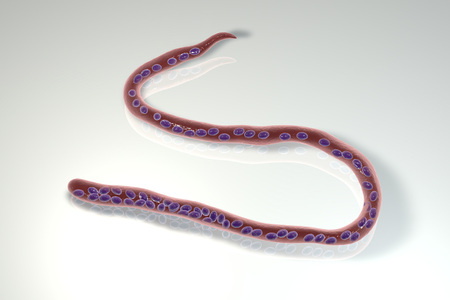 Mansonella ozzardi, a roundworm nematoda that causes serous cavity filariasis and keratitis in humans, 3D illustration showing absence of sheath around the worm and tail nuclei that do not extend to tip Stock Photo