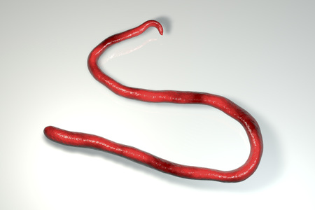 Mansonella streptocerca, a roundworm nematoda that causes streptocerciasis, subcutaneous filariasis, 3D illustration showing absence of sheath around worm and tail nuclei extending to tip with hook Stock Illustration - 101015365