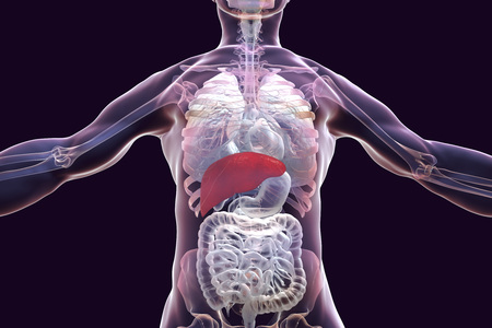 Liver Highlighted Inside Human Body, 3D Illustration Stock Photo ...