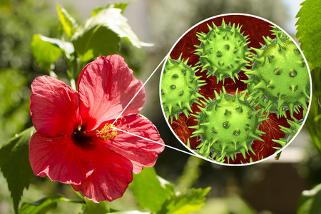 Hibiscus rosa-sinensis flower with close-up view of its pollen grains, 3D illustration. Inspite of unusual spiky appearance of pollen grain, Hibiscus belongs to hypoallergenic plants Stock Photo