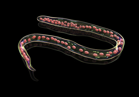 Mansonella ozzardi, a roundworm nematoda that causes serous cavity filariasis and keratitis, 3D illustration shows absence of sheath around the worm and tail nuclei that do not extend to tip