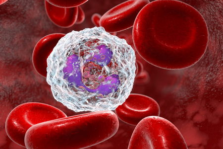 Neutrophil in blood, a white blood cell, 3D illustration. The most abundant type of granulocytes, has phagocyting activity, takes part in inflammation