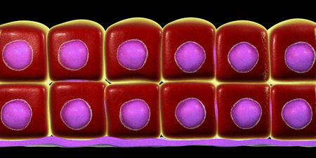 Stratified cuboidal epithelium, 3D illustration. Histology poster Stok Fotoğraf