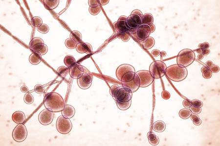 3D illustration of fungi Candida, the causative agent of candidiasis, thrush, systemic invasive infections. Pathogenic fungus or yeast Imagens
