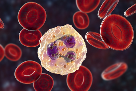 Neutrophil, a white blood cell, 3D illustration. The most abundant type of granulocytes, has phagocyting activity, takes part in inflammation