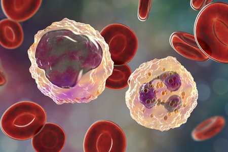 Monocyte left and neutrophil right surrounded by red blood cells, 3D illustration Stock Photo