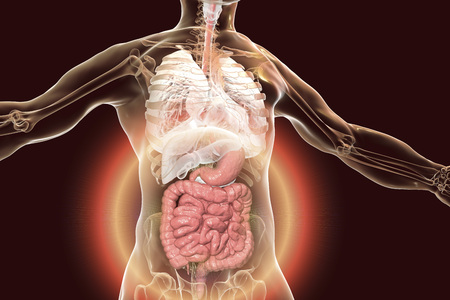 Human body anatomy with highlighted digestive system, 3D illustration