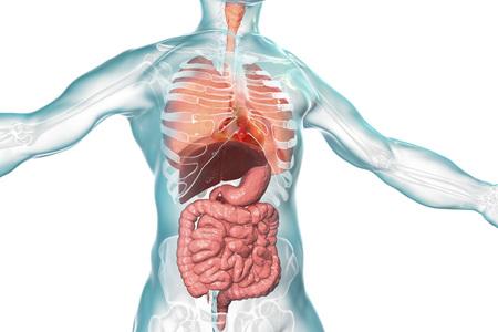 Anatomía del cuerpo humano, sistema respiratorio y digestivo aislado sobre fondo blanco, ilustración 3D