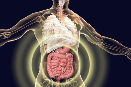 Anatomía del cuerpo humano con sistema digestivo destacado, ilustración 3D