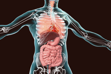 Human body anatomy, respiratory and digestive system, 3D illustration Stock Photo