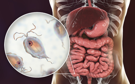 Pentatrichomonas hominis protozoan in human intestine, 3D illustration. Also known as Trichomonas hominis or T. intestinalis, colonizes large intestine, usually asymptomatic but may cause diarrhea Stock Illustration - 112327729
